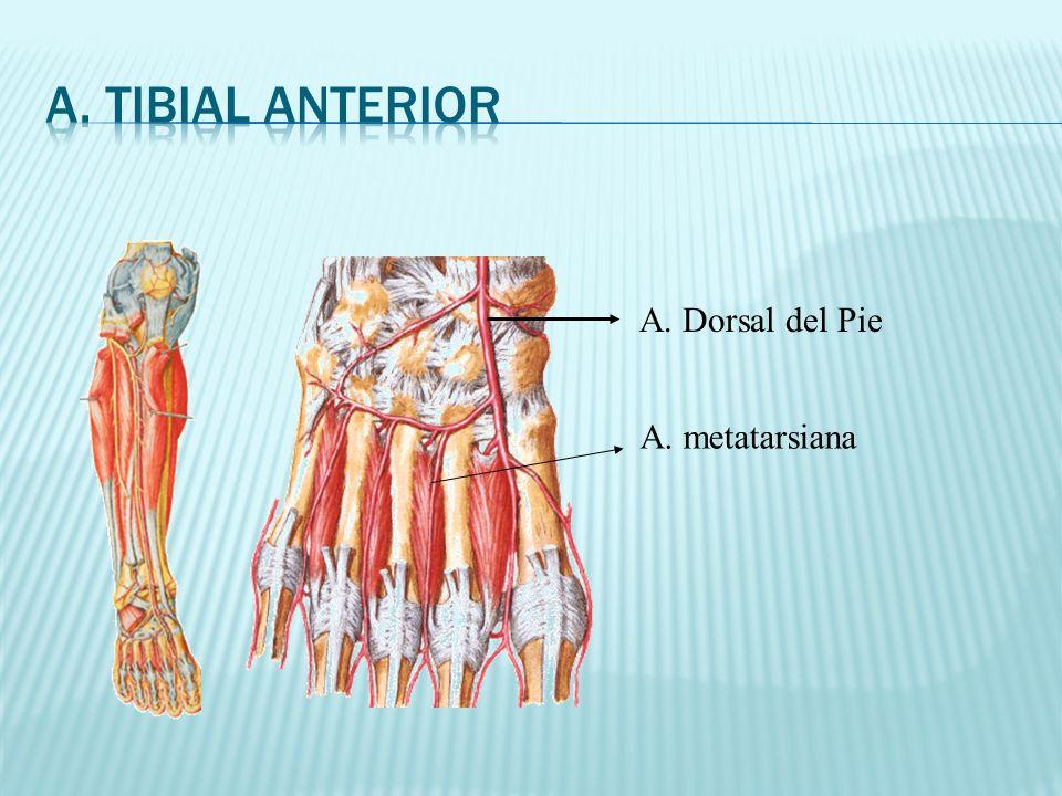 A. Tibial Anterior A. Dorsal del Pie A. metatarsiana