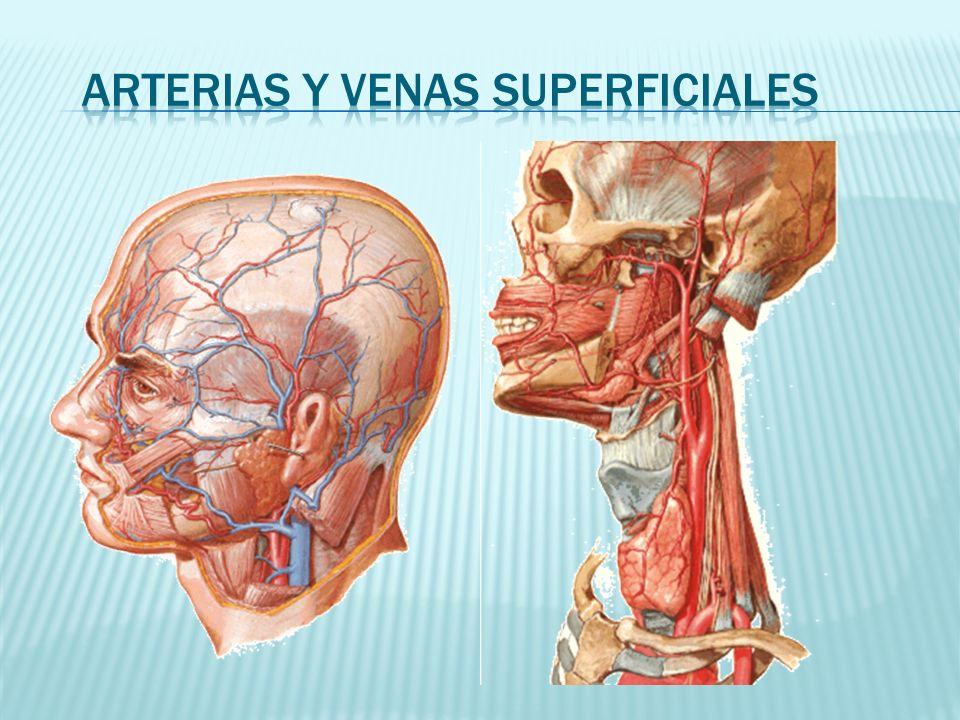 Arterias y venas superficiales
