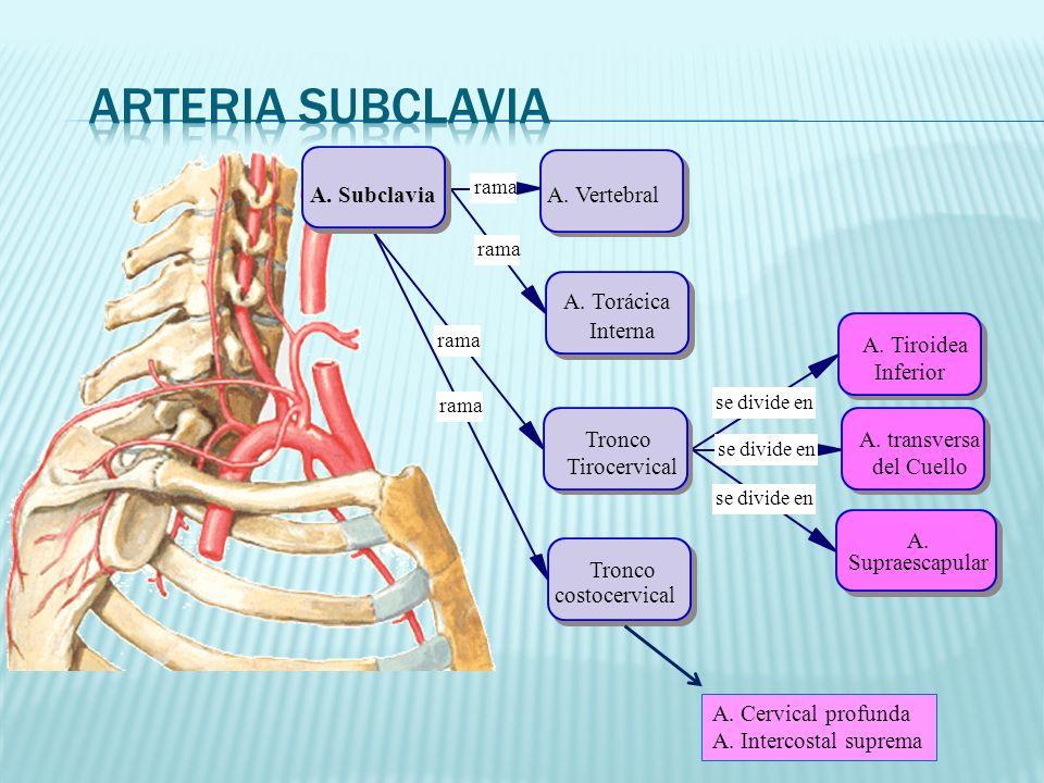Arteria subclavia A. Subclavia A. Vertebral A. Torácica Interna Tronco