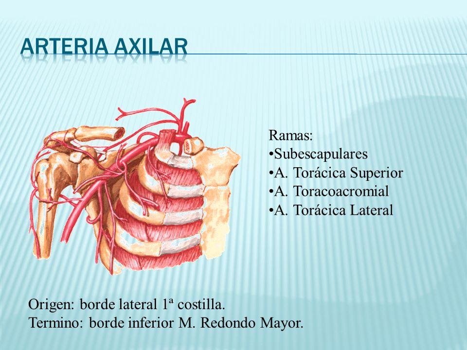 Arteria axilar Ramas: Subescapulares A. Torácica Superior