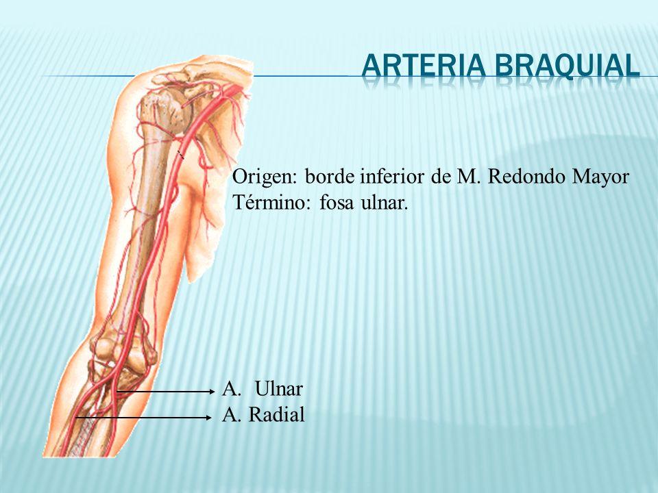 Arteria Braquial Origen: borde inferior de M. Redondo Mayor
