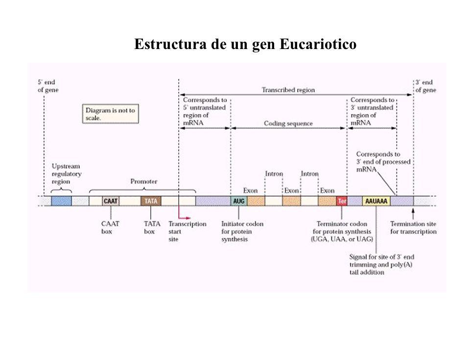 Estructura de un gen Eucariotico