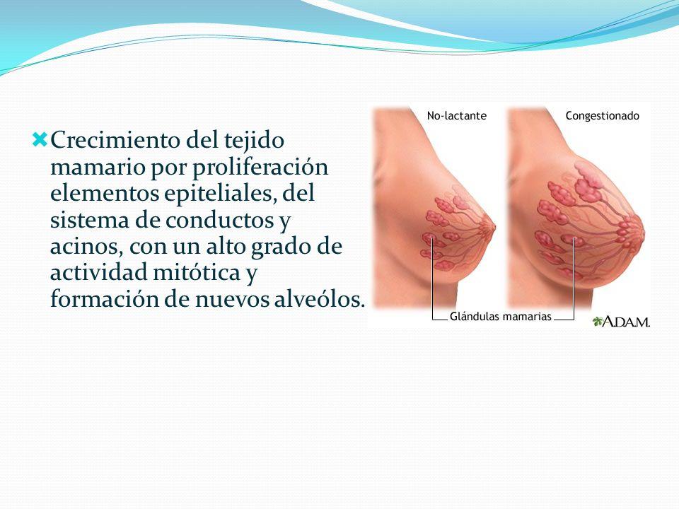 Crecimiento del tejido mamario por proliferación elementos epiteliales, del sistema de conductos y acinos, con un alto grado de actividad mitótica y formación de nuevos alveólos.