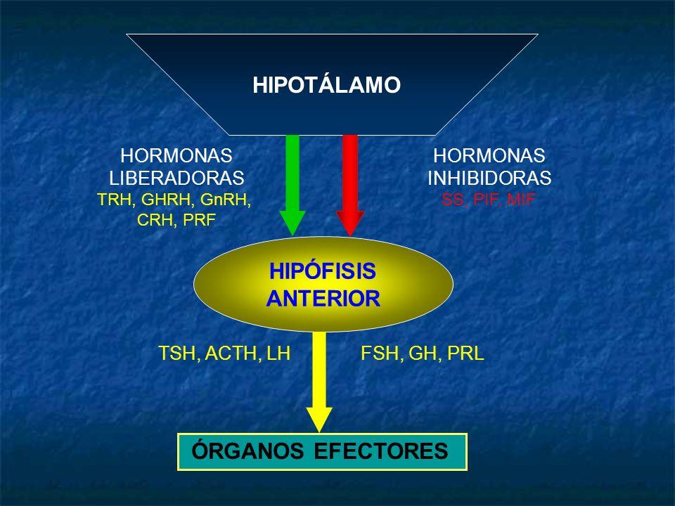 HIPOTÁLAMO HIPÓFISIS ANTERIOR