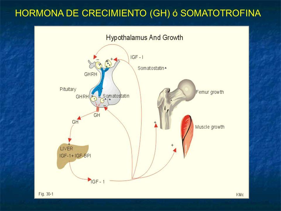 HORMONA DE CRECIMIENTO (GH) ó SOMATOTROFINA