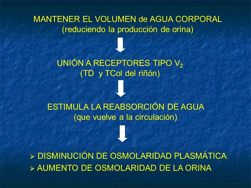 UNIÓN A RECEPTORES TIPO V2 (TD y TCol del riñón)
