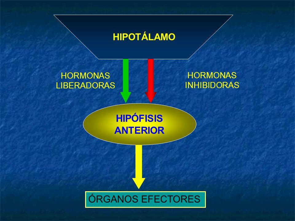 HIPÓFISIS ANTERIOR ÓRGANOS EFECTORES HIPOTÁLAMO HORMONAS HORMONAS