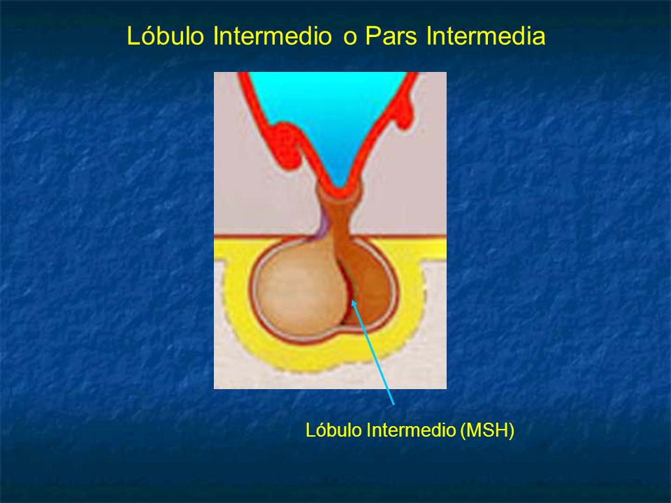 Lóbulo Intermedio o Pars Intermedia