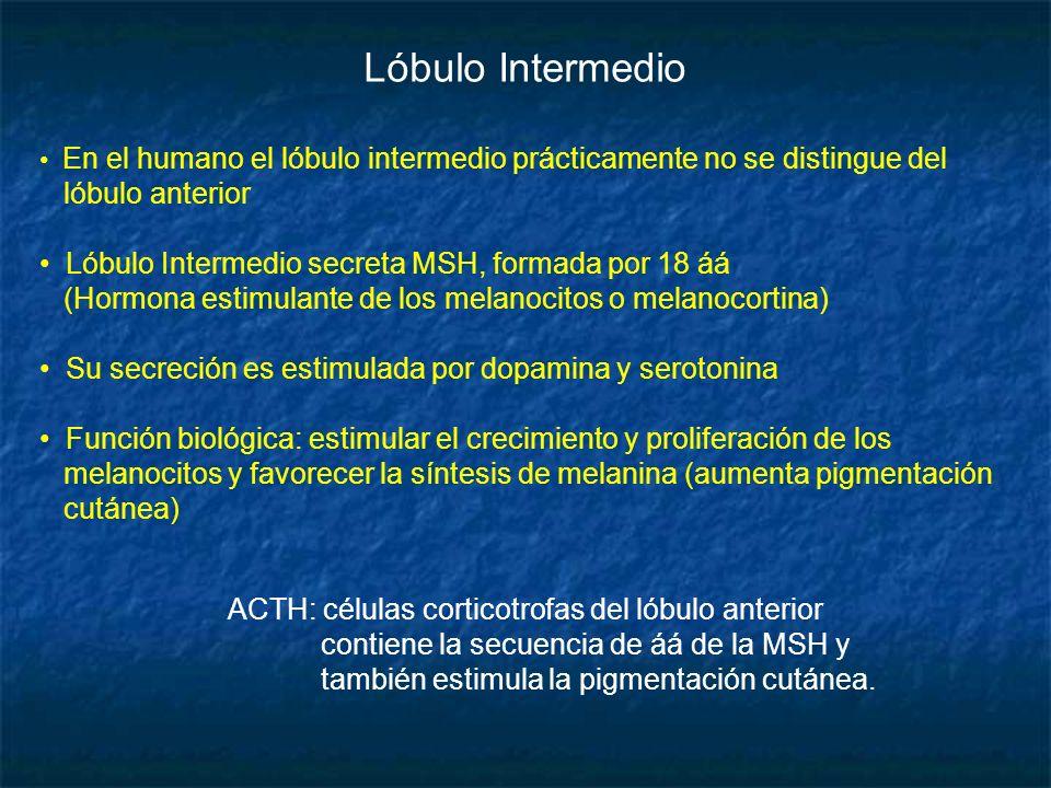 Lóbulo Intermedio lóbulo anterior