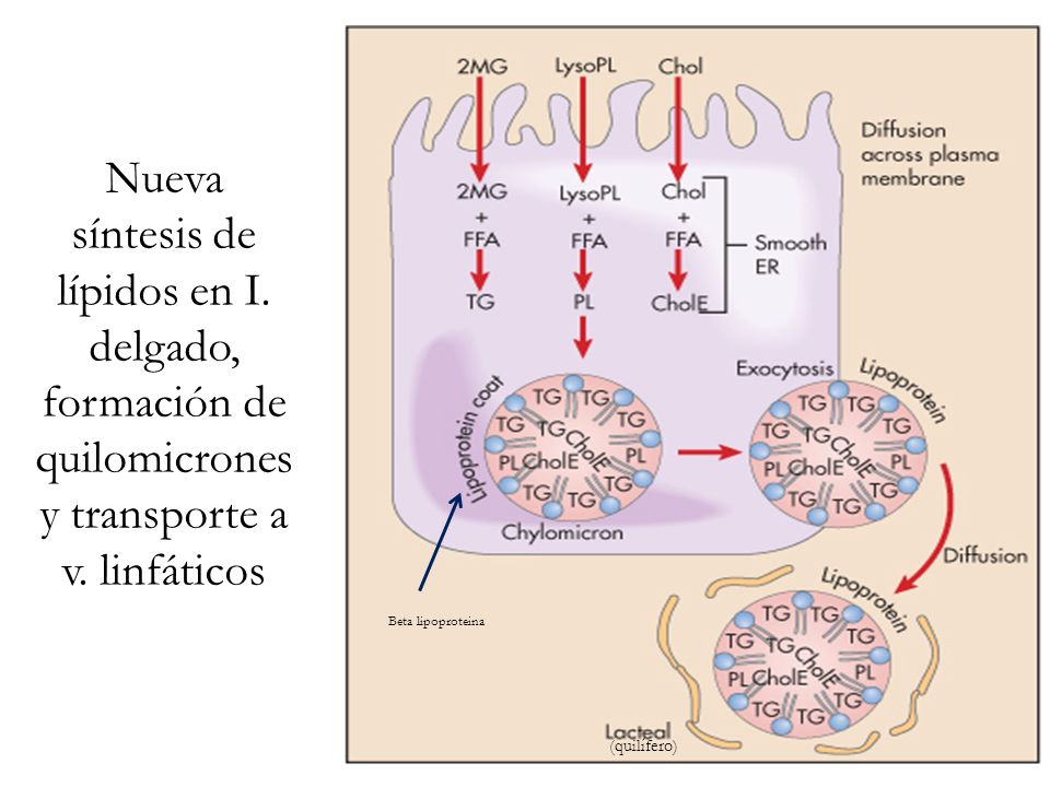 Nueva síntesis de lípidos en I