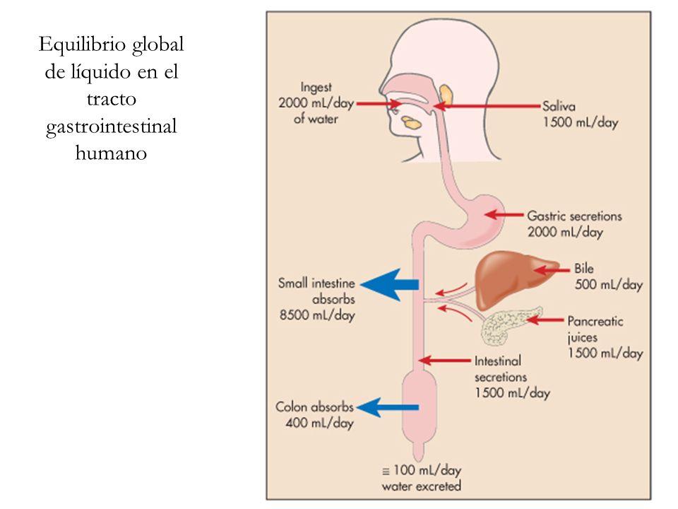 Equilibrio global de líquido en el tracto gastrointestinal humano