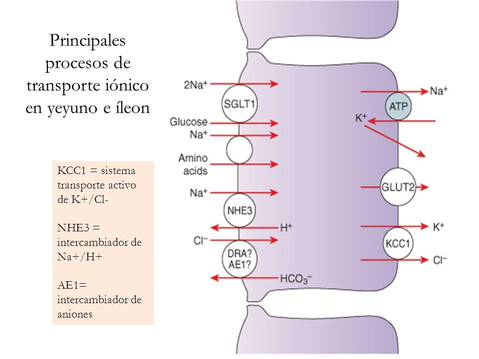 Principales procesos de transporte iónico en yeyuno e íleon