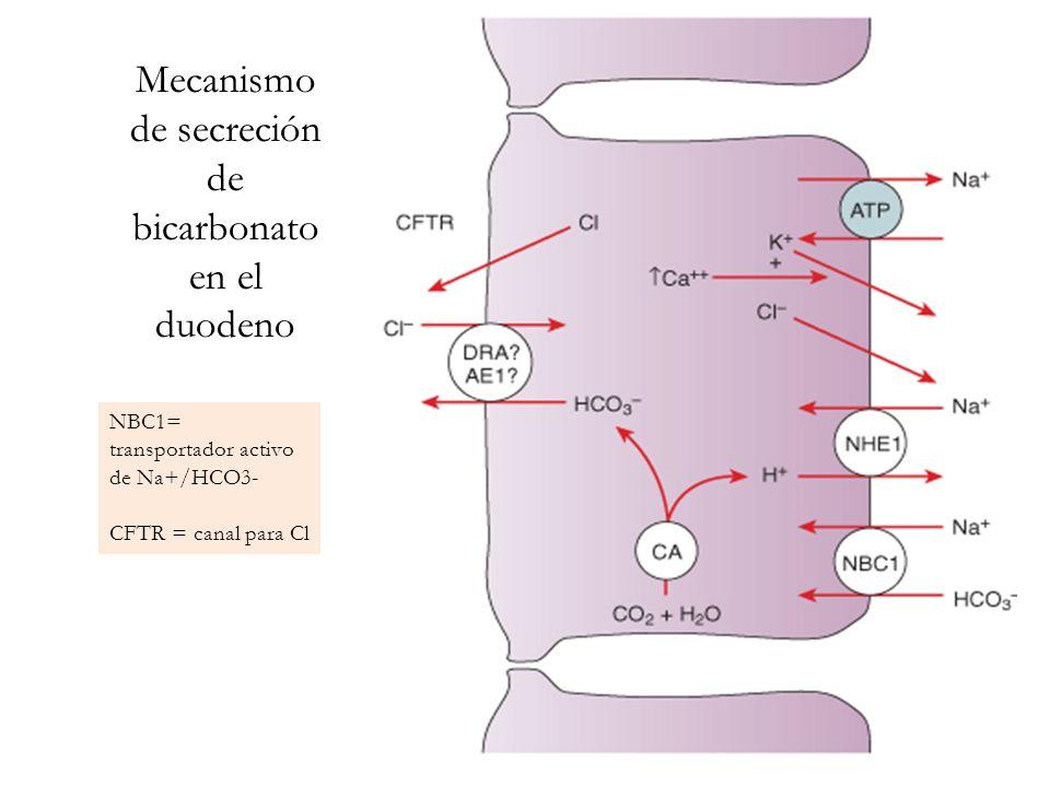 Mecanismo de secreción de bicarbonato en el duodeno