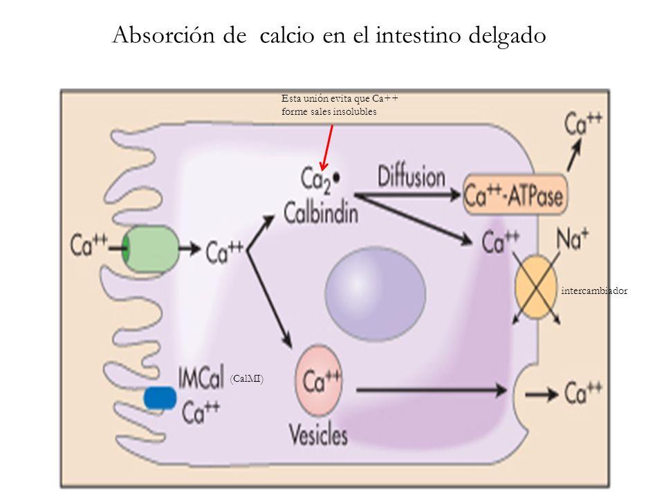 Absorción de calcio en el intestino delgado