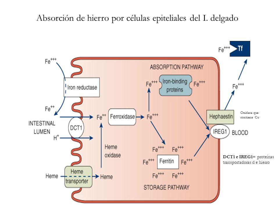 Absorción de hierro por células epiteliales del I. delgado