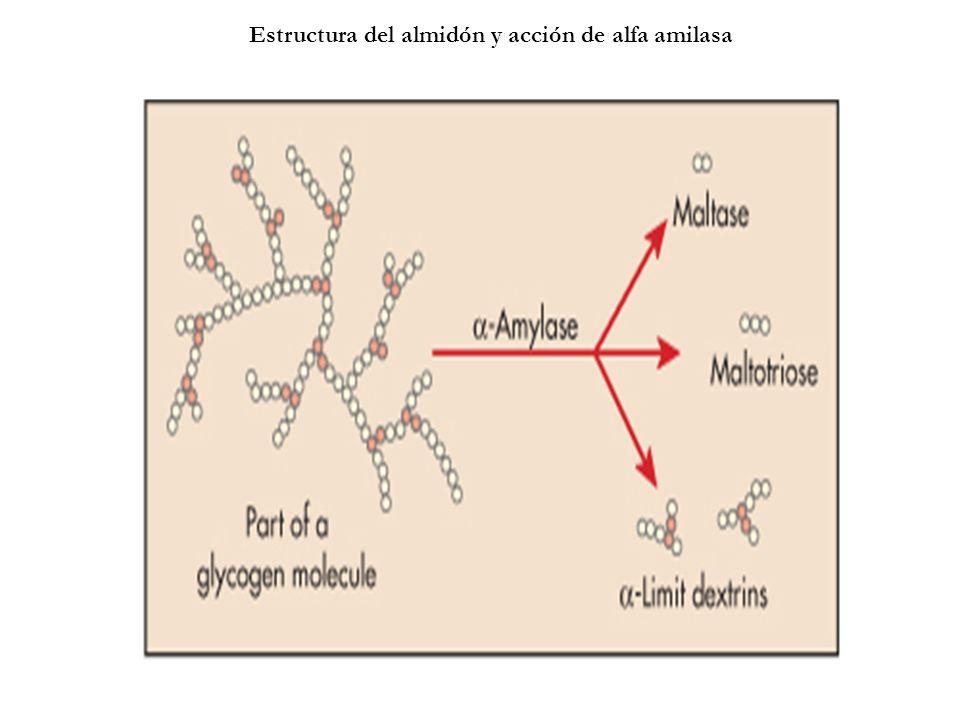Estructura del almidón y acción de alfa amilasa