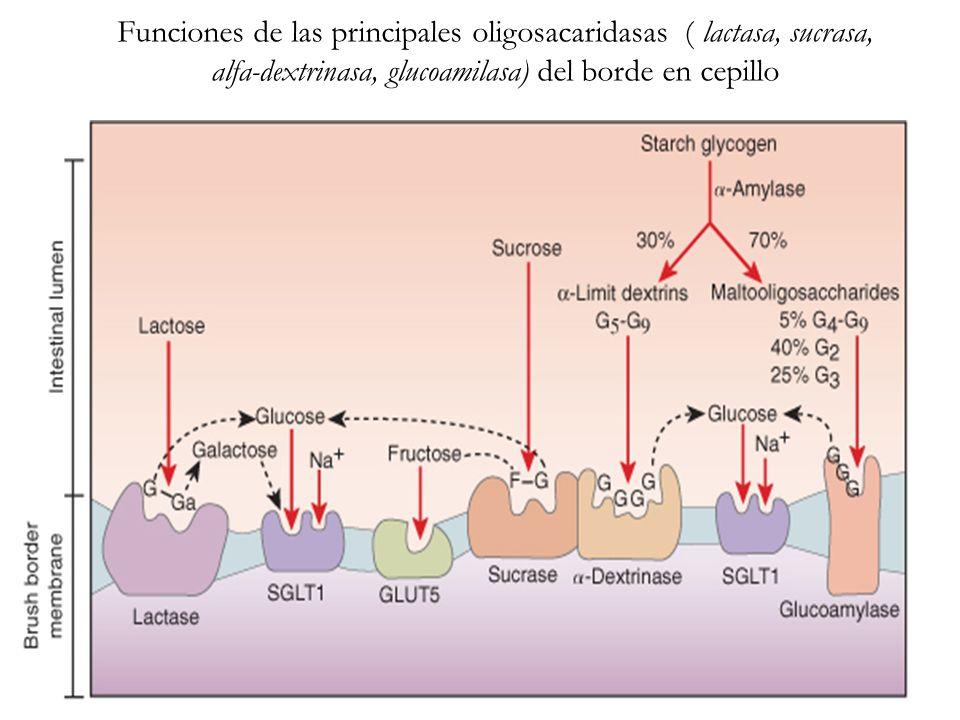 Funciones de las principales oligosacaridasas ( lactasa, sucrasa, alfa-dextrinasa, glucoamilasa) del borde en cepillo