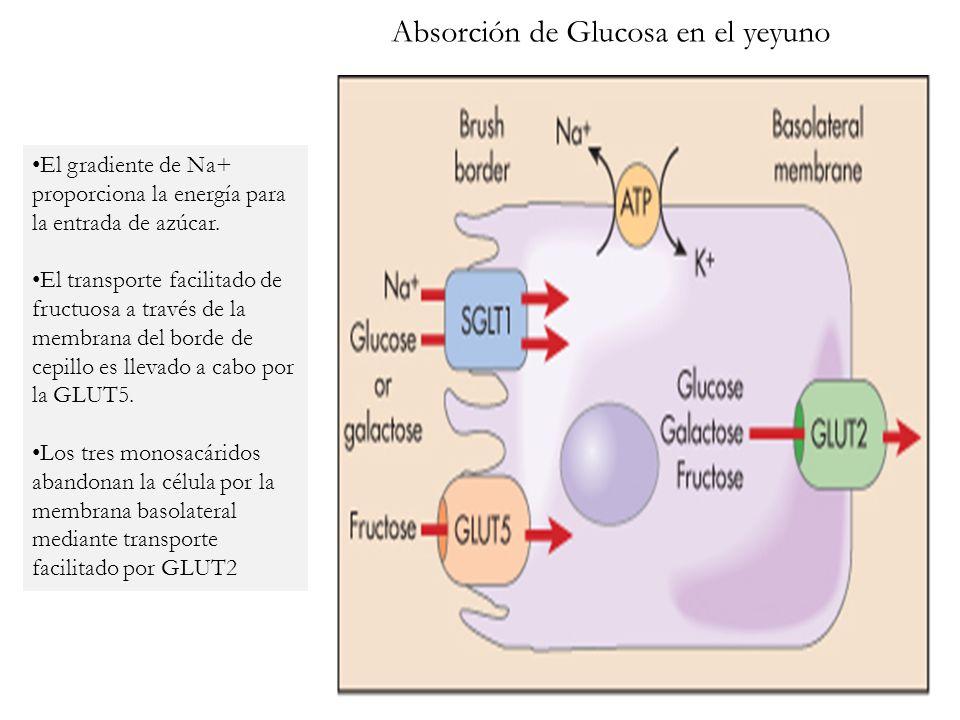 Absorción de Glucosa en el yeyuno
