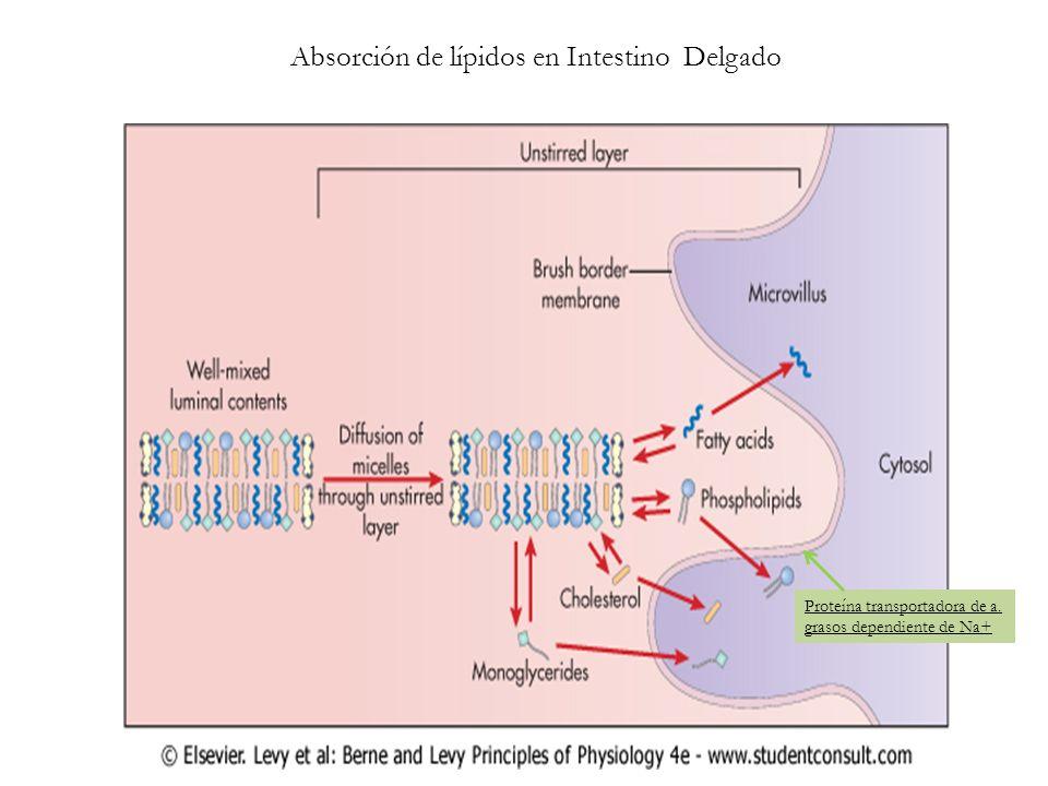 Absorción de lípidos en Intestino Delgado
