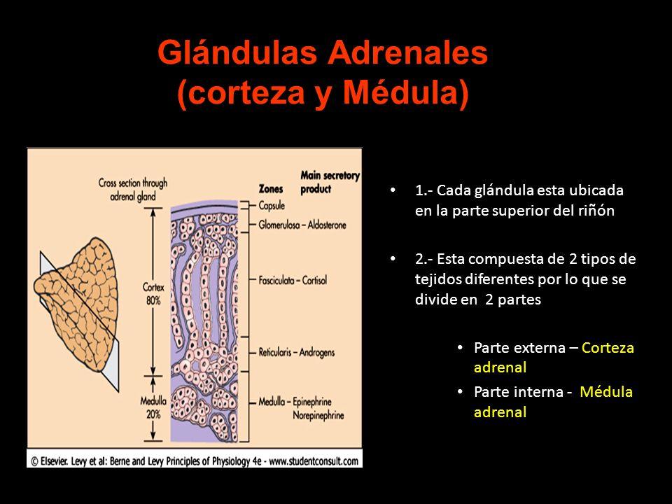 Glándulas Adrenales (corteza y Médula)