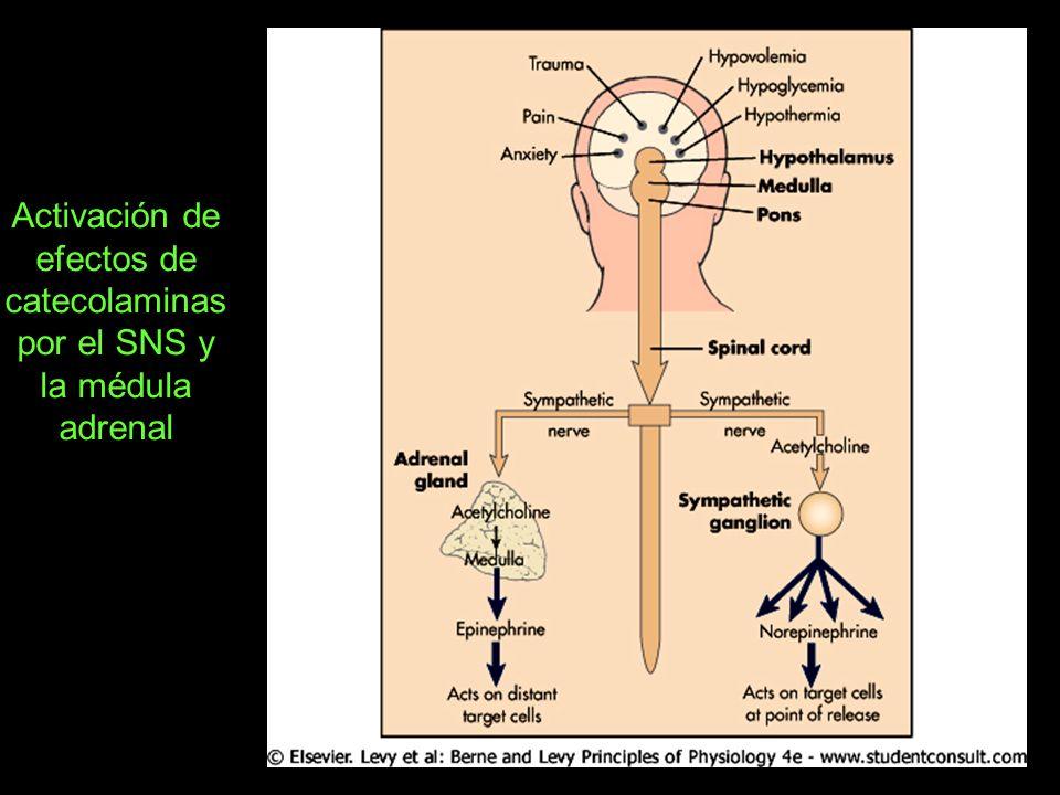 Activación de efectos de catecolaminas por el SNS y la médula adrenal