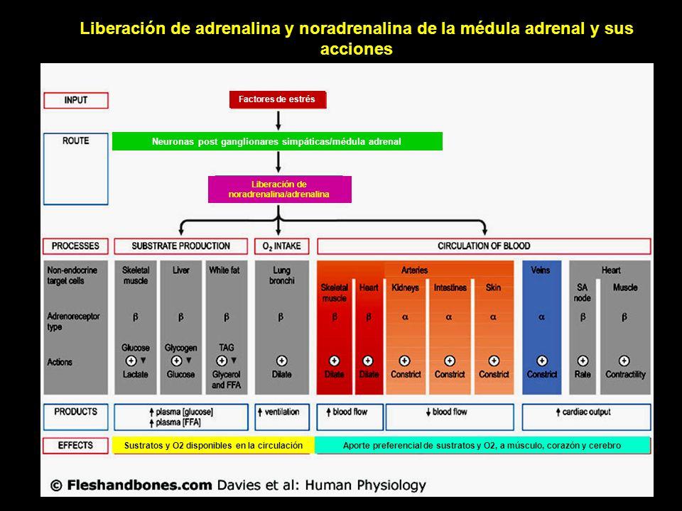 Liberación de adrenalina y noradrenalina de la médula adrenal y sus acciones