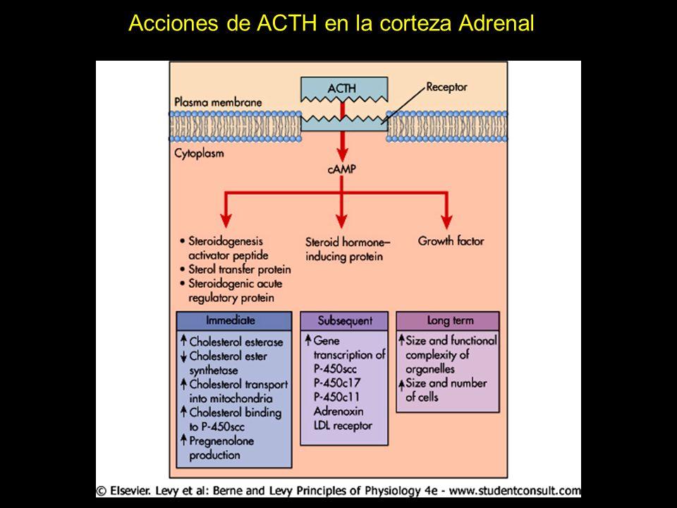 Acciones de ACTH en la corteza Adrenal
