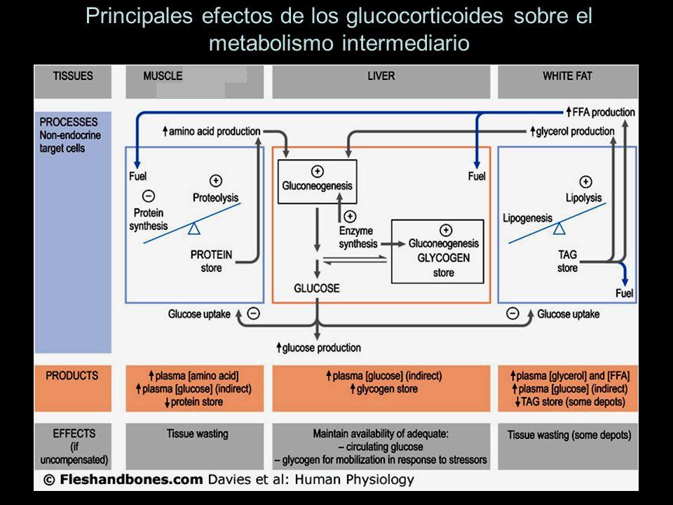 Principales efectos de los glucocorticoides sobre el metabolismo intermediario