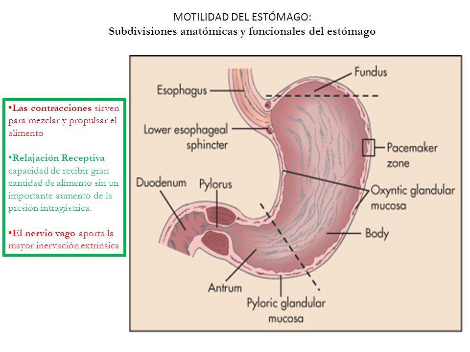 Subdivisiones anatómicas y funcionales del estómago