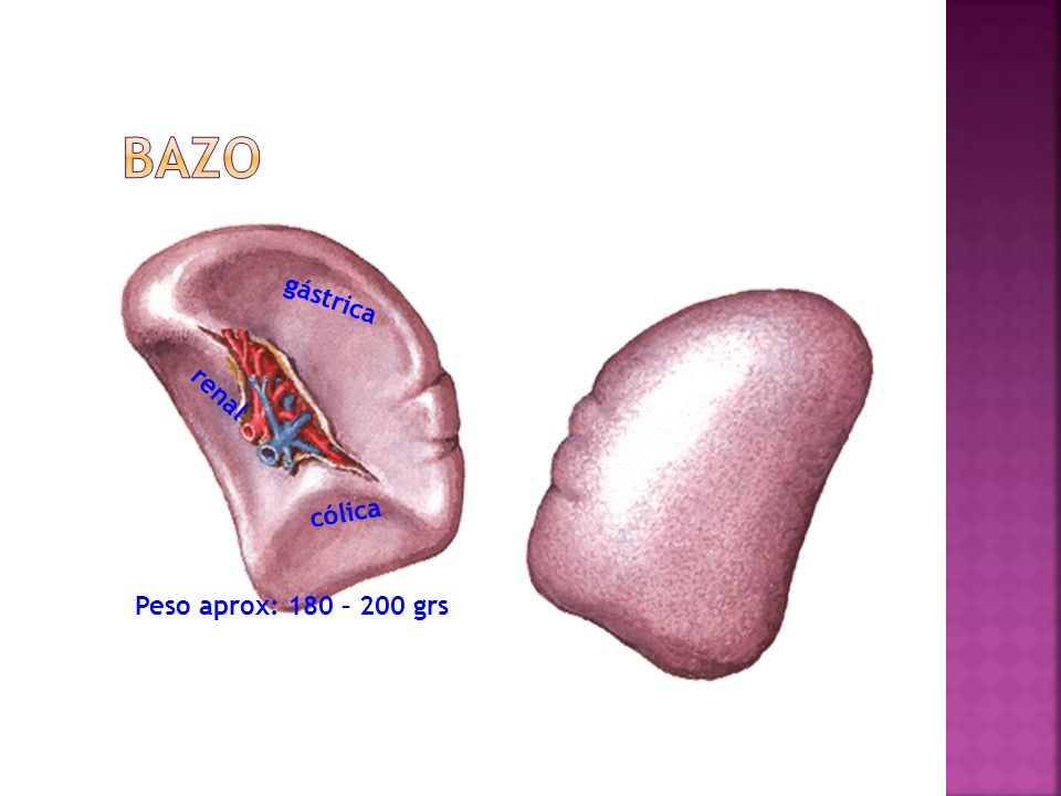 Bazo gástrica renal cólica Peso aprox: 180 – 200 grs