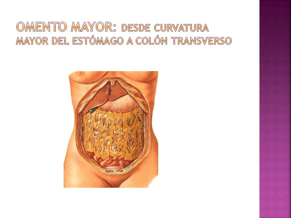 Omento mayor: desde curvatura mayor del estómago a colón transverso