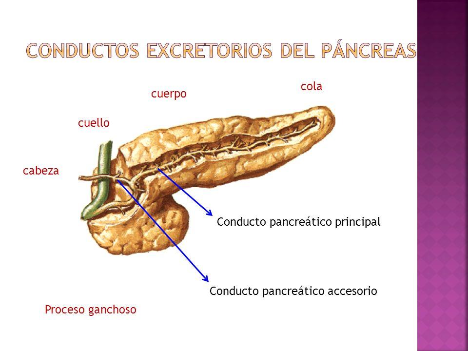 Conductos excretorios del páncreas