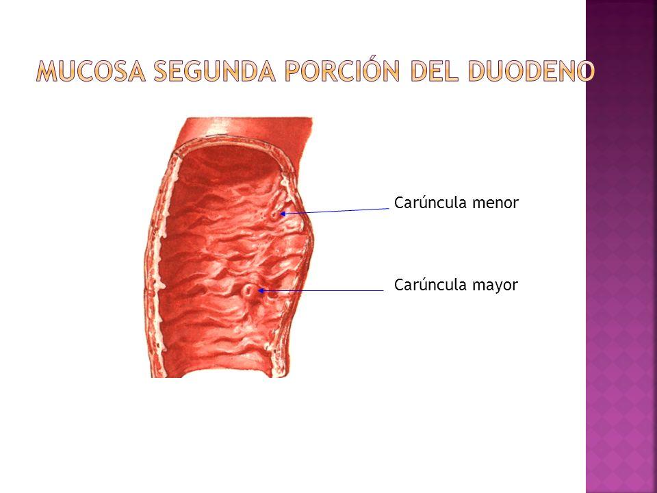 Mucosa segunda porción del duodeno