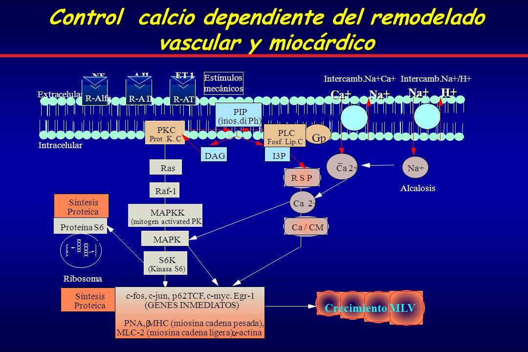 Control calcio dependiente del remodelado vascular y miocárdico