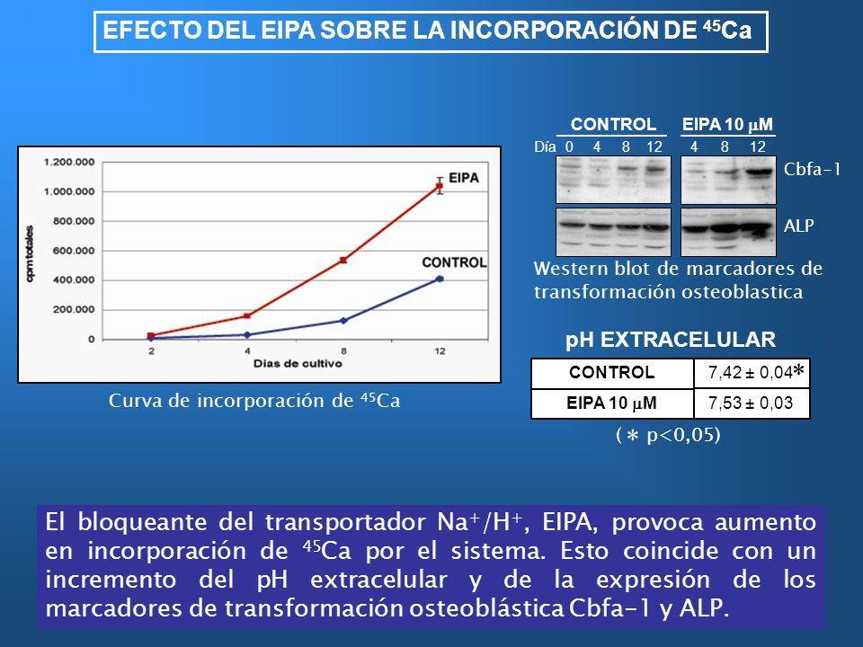 * EFECTO DEL EIPA SOBRE LA INCORPORACIÓN DE 45Ca