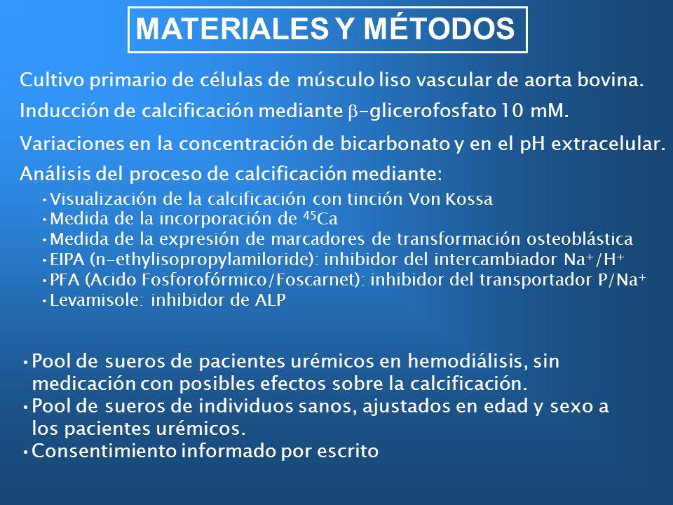 MATERIALES Y MÉTODOS Cultivo primario de células de músculo liso vascular de aorta bovina.