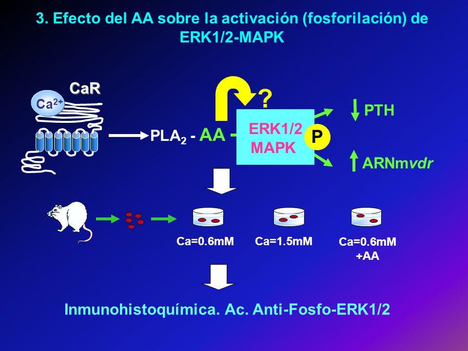 3. Efecto del AA sobre la activación (fosforilación) de ERK1/2-MAPK