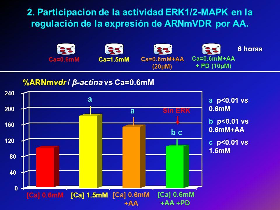 2. Participacion de la actividad ERK1/2-MAPK en la regulación de la expresión de ARNmVDR por AA.