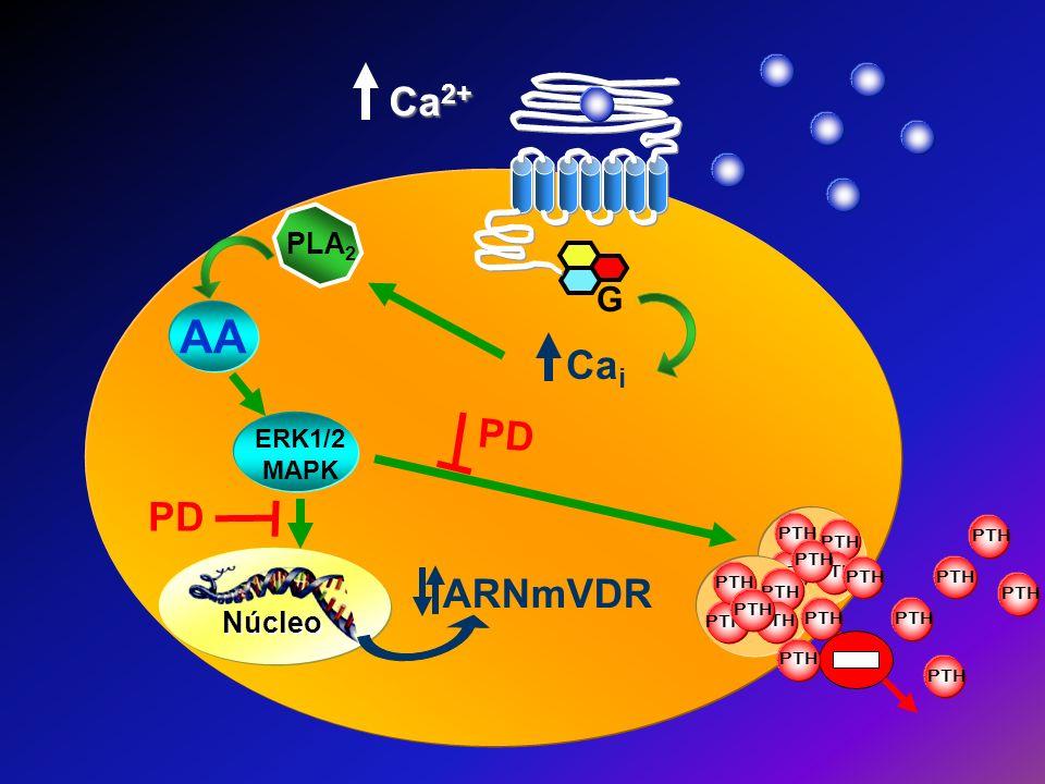 AA Ca2+ Cai PD PD ARNmVDR G PLA2 Núcleo ERK1/2MAPK PTH PTH