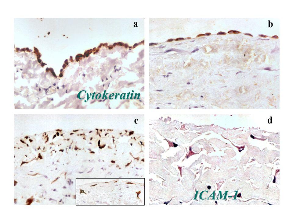 Cytokeratin ICAM-1