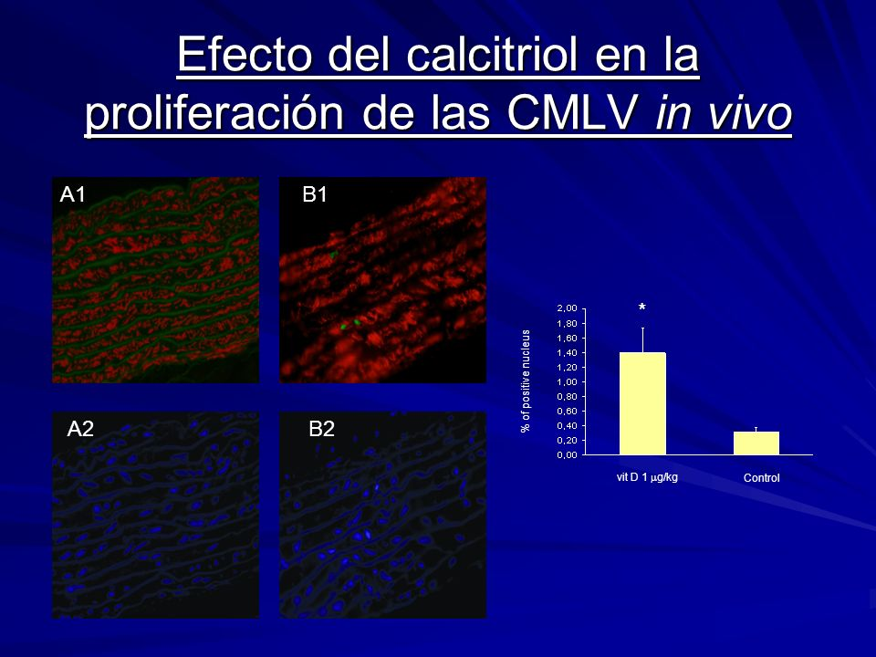 Efecto del calcitriol en la proliferación de las CMLV in vivo