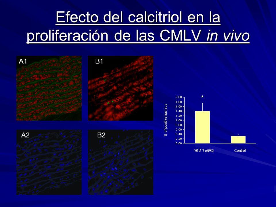 Efecto del calcitriol en la proliferación de las CMLV in vivo