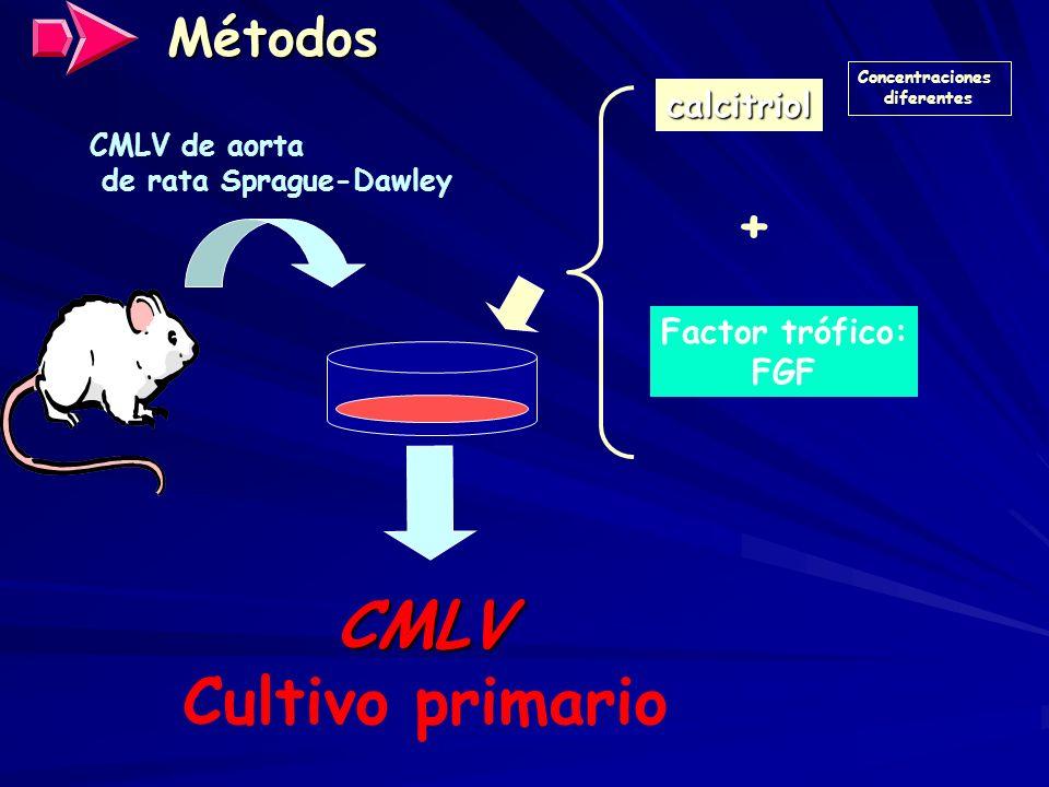 CMLV Cultivo primario + Métodos calcitriol Factor trófico: FGF