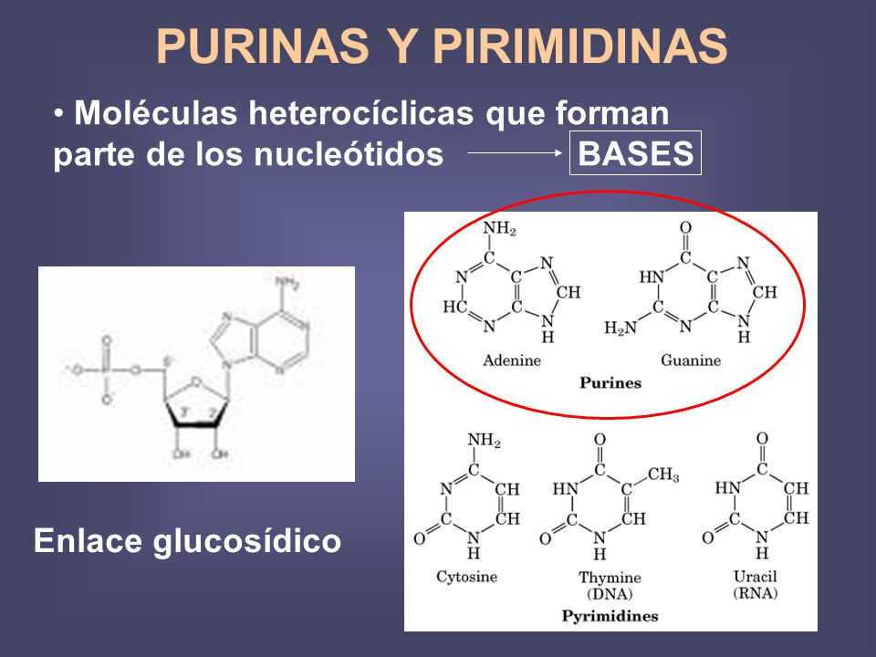 PURINAS Y PIRIMIDINAS Moléculas heterocíclicas que forman parte de los nucleótidos BASES.
