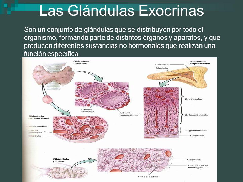 Las Glándulas Exocrinas