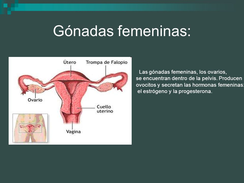 Gónadas femeninas: se encuentran dentro de la pelvis. Producen