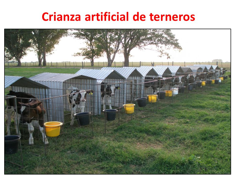Crianza artificial de terneros