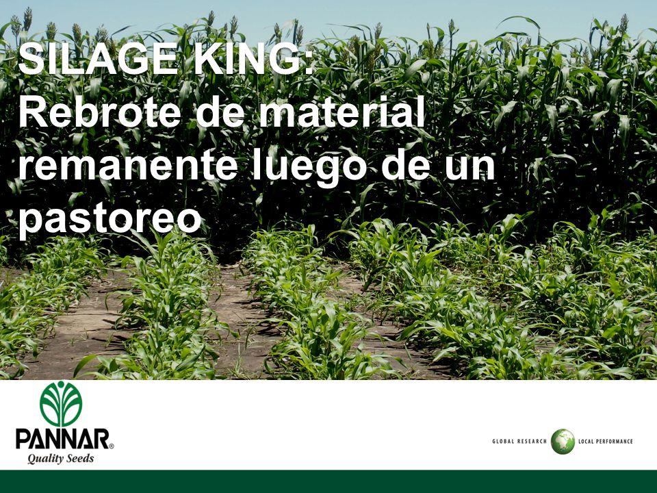 SILAGE KING: Rebrote de material remanente luego de un pastoreo