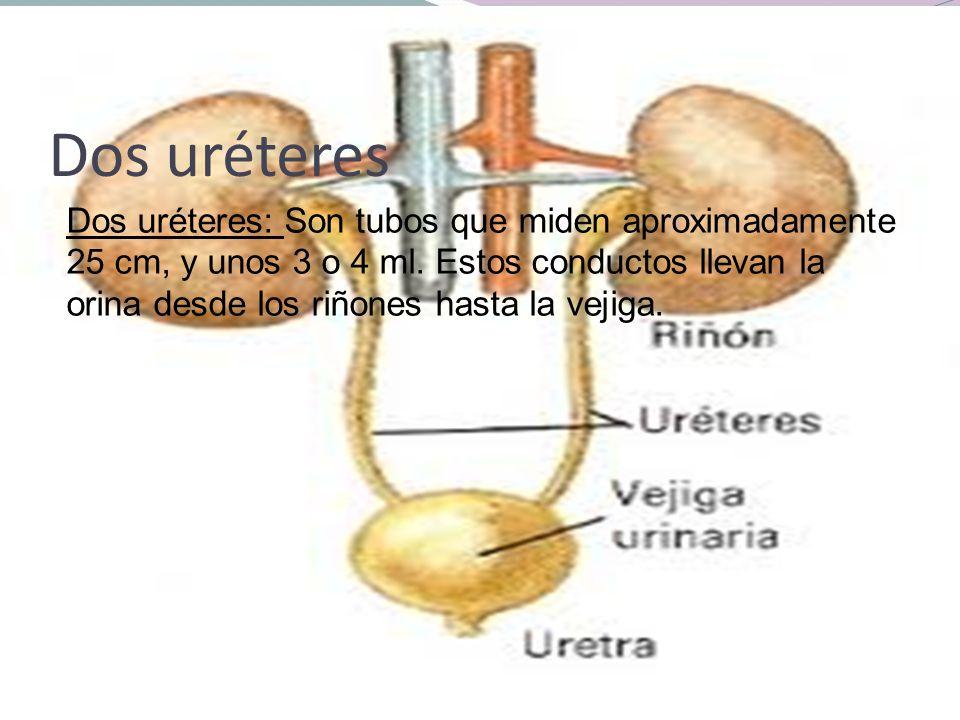 Dos uréteres