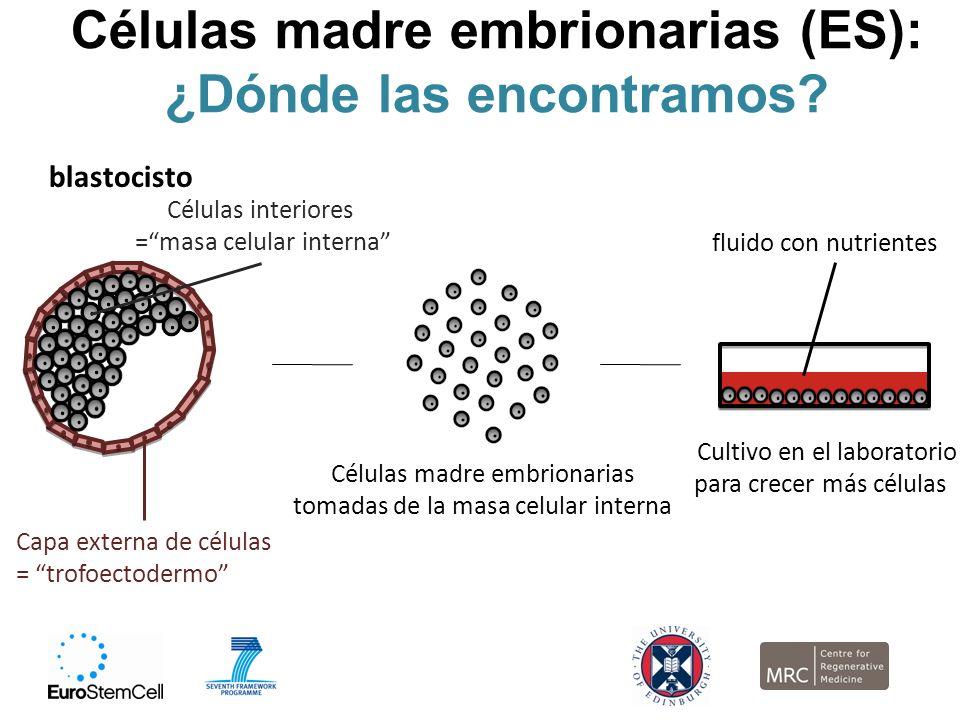 Células madre embrionarias (ES): ¿Dónde las encontramos